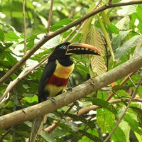 Chestnut-eared Aracari :: чудинова ольга