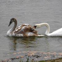 И среди лебедей случаются ссоры :: Маргарита Батырева