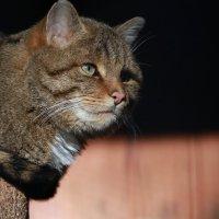 Степной кот :: Владимир Шадрин