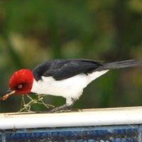 Red-Capped Cardinal :: чудинова ольга