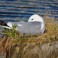 Чайка на гнезде :: Андрей