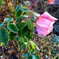 Осенняя роза :: Алла ZALLA