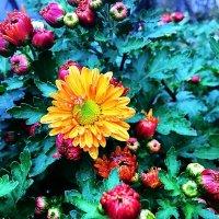 Осенние цветы :: Алла ZALLA