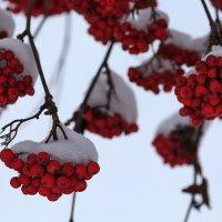 Северный виноград :: Наталья Кузнецова