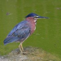 Кваква,так эта птичка называется. :: Александр Гризодуб