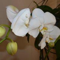 орхидея :: fotolv73 Dan