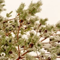 сосна под октябрьским снегом :: Александр Прокудин