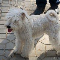 На выставке собак :: Светлана