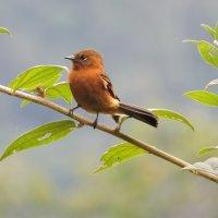 Cinnamon Flycatcher :: чудинова ольга