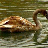 Рыжий лебедь :: Сергей Карачин