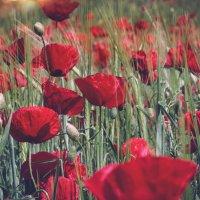 Поле с маками, словно красочный платок.... :: Лилия .