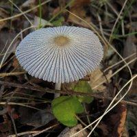 Навозник обыкновенный (Coprinus cinereus) :: Людмила Василькова