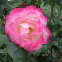 Роза в монастырском саду :: Анна Воробьева