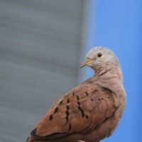 Ruddy-ground Dove :: чудинова ольга