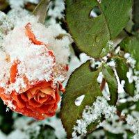 Роза на снегу :: Lanna