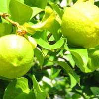 Лимоны. :: Валерьян