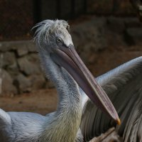 Кудрявый пеликан :: Владимир Шадрин