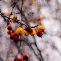ноябрьские яблоки :: Александр Прокудин