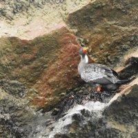 Red-legged Cormorant :: чудинова ольга