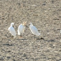 Snowy Egrets :: чудинова ольга