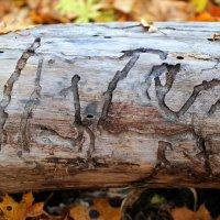 Лесные иероглифы :: Андрей Заломленков