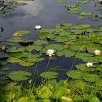 Туголянское озеро лилий :: Сергей Мошков