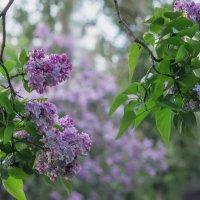 Сиреневый сад :: Ольга