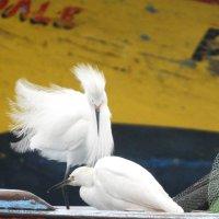Snowy Egret :: чудинова ольга