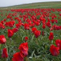 тюльпаны в степи :: vladimir polovnikov