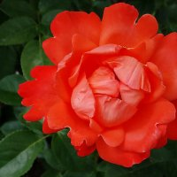 Коралловая роза.. :: Владимир Бровко