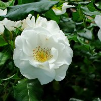 Ах эти белые розы... :: Владимир Бровко