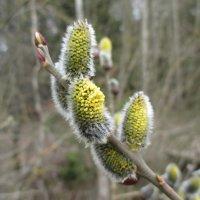 Ивы сказочно красивы в расцветающей весне. :: Александр Куканов (Лотошинский)