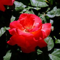 Роза  под солнечными лучами :: Владимир Бровко