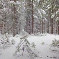 Заглянула в лес зима... :: Елена Ярова
