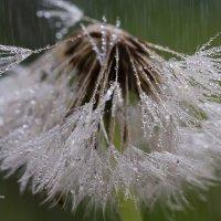 Макро одуванчика под дождём :: Александр Синдерёв