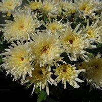 Грустят о лете поздние цветы.... :: Galina Dzubina