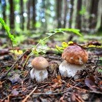 Лесные красавцы :: Виктор Журбенков