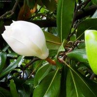 Цветок магнолии :: Руслан Newman