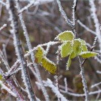 Первые осенние заморозки :: Светлана Тремасова