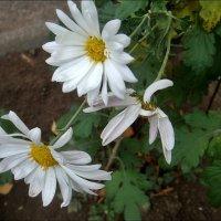 Три хризантемы :: Нина Корешкова