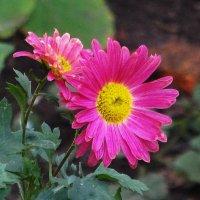 Цветы в ноябре - Хризантема :: Маргарита Батырева