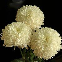 Хризантемы, похожие на георгины :: Светлана
