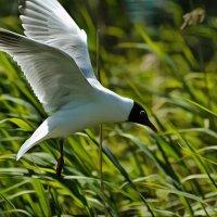 чайка в полете :: linnud