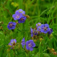 Синие цветы. :: nadyasilyuk Вознюк
