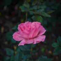 «…О, как же розы восхищают, Их аромат - сердца ласкает,…» :: Андрей Нибылица