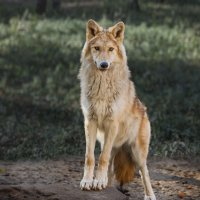 Белый волк :: Nn semonov_nn
