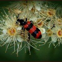 Пестряк пчелиный. :: Anatol L