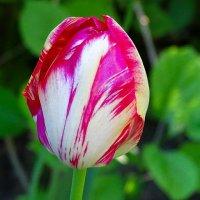 Когда цвели тюльпаны :: Милешкин Владимир Алексеевич
