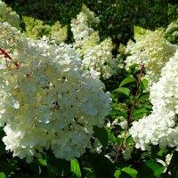 Белая, садовая гортензия :: Милешкин Владимир Алексеевич