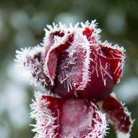 роза и мороз :: Oksana Verkhoglyad